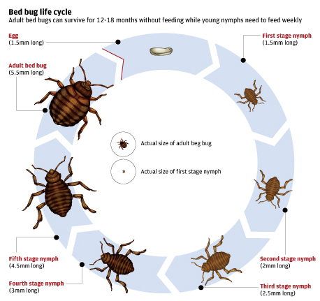 About Bed Bugs True Heat Solutions